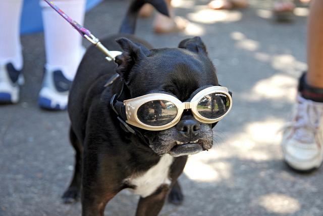doggle-dog-dogs-in-sunglasses-14.jpg