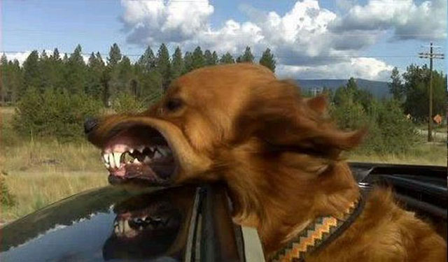 dogs-funny-faces-car.jpg