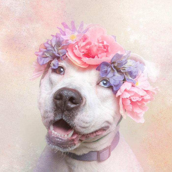 flower-power-pit-bulls-dog-adoption-photography-sophie-gamand-10.jpg