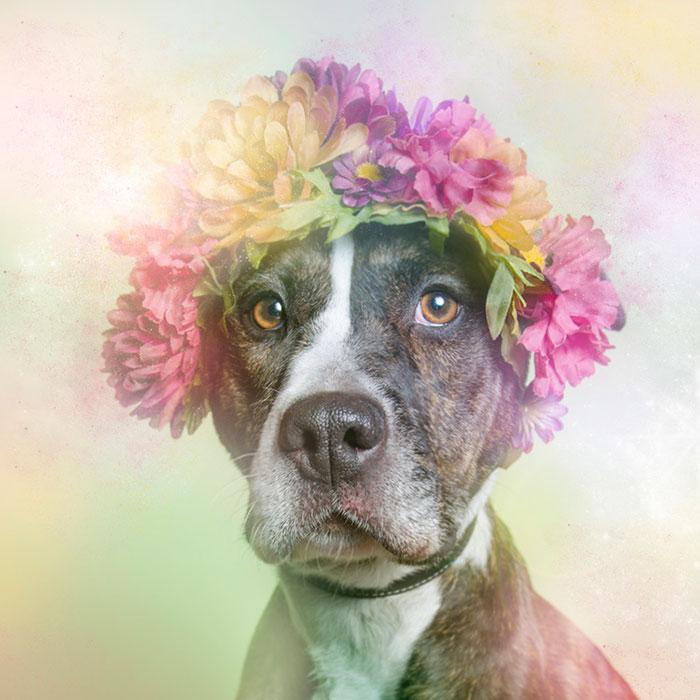 flower-power-pit-bulls-dog-adoption-photography-sophie-gamand-11.jpg