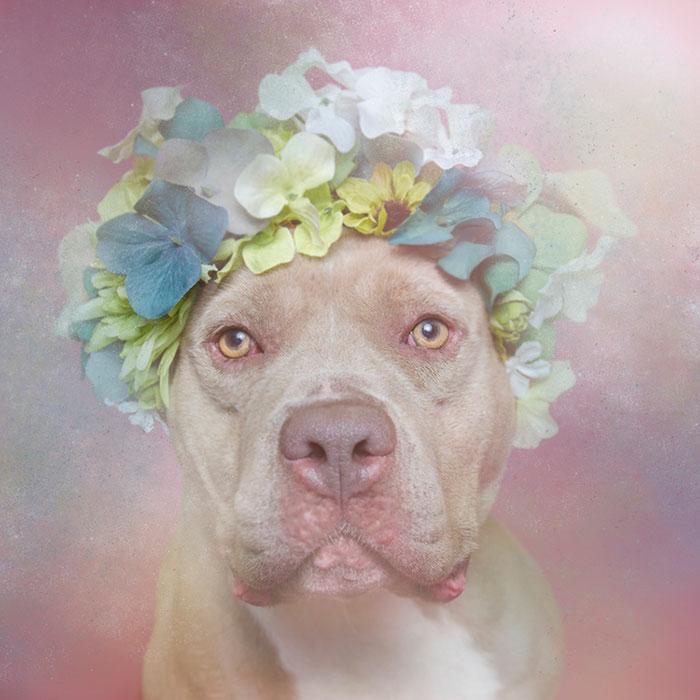 flower-power-pit-bulls-dog-adoption-photography-sophie-gamand-2.jpg