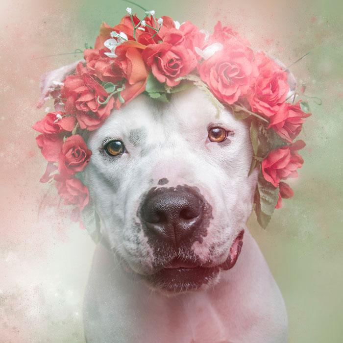 flower-power-pit-bulls-dog-adoption-photography-sophie-gamand-3.jpg