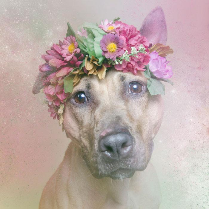 flower-power-pit-bulls-dog-adoption-photography-sophie-gamand-4.jpg