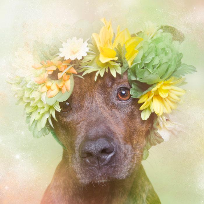 flower-power-pit-bulls-dog-adoption-photography-sophie-gamand-5.jpg