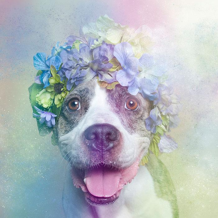 flower-power-pit-bulls-dog-adoption-photography-sophie-gamand-6.jpg