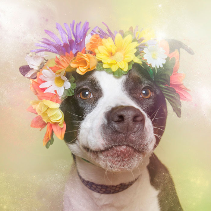 flower-power-pit-bulls-dog-adoption-photography-sophie-gamand-7.jpg