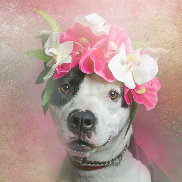 flower-power-pit-bulls-dog-adoption-photography-sophie-gamand-8.jpg