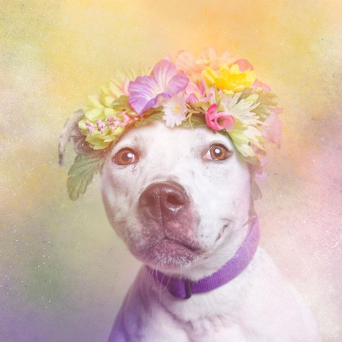 flower-power-pit-bulls-dog-adoption-photography-sophie-gamand-9.jpg