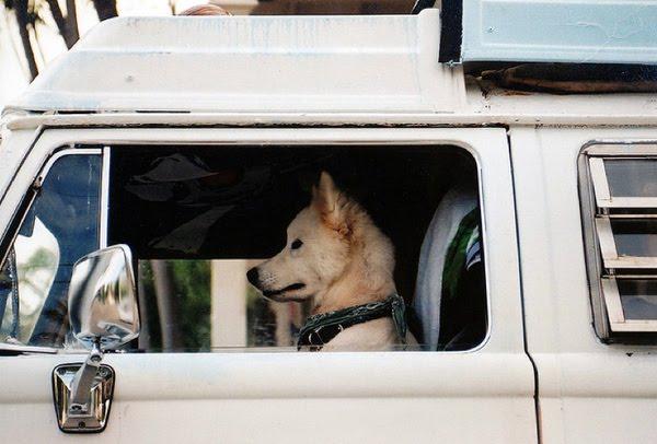 funny-animals-dogs-driving-cars-003.jpg