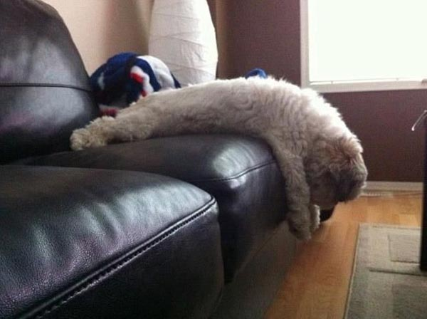 funny-dog-plank-on-sofa.jpg