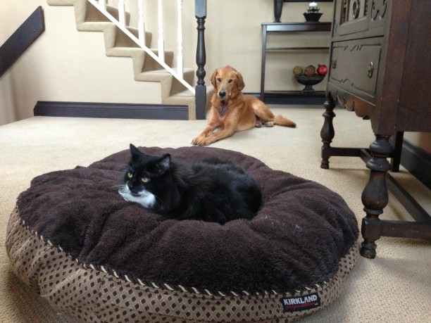 golden-retriever-and-cat-612x459.jpg