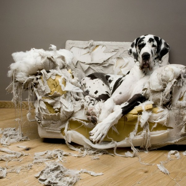 great_dane_torn_couch-600x600.jpg