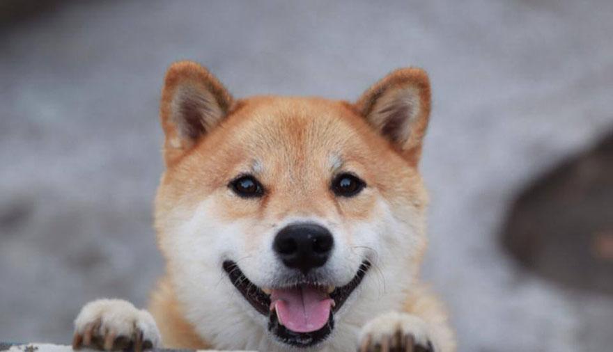 happy-dog-maru-shiba-inu-15.jpg