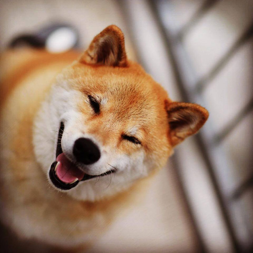 happy-dog-maru-shiba-inu-23.jpg