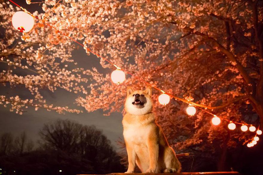 happy-dog-maru-shiba-inu-31.jpg
