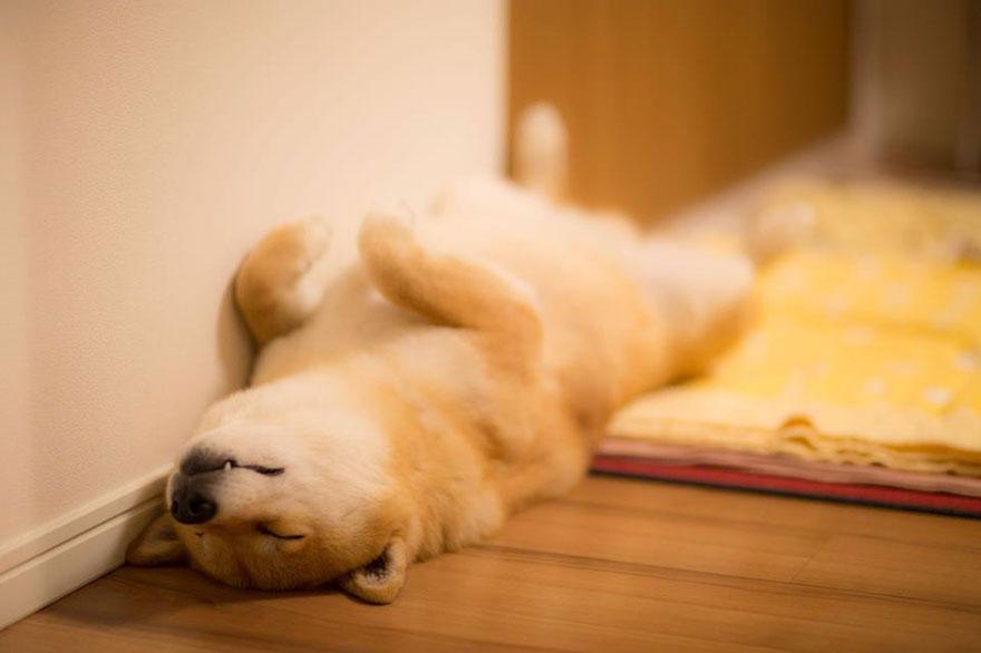 happy-dog-maru-shiba-inu-32.jpg
