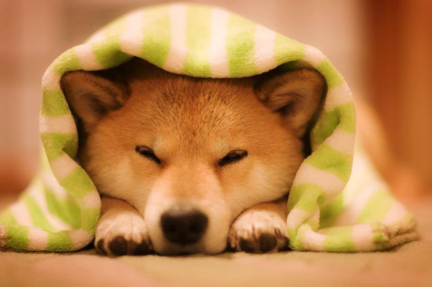 happy-dog-maru-shiba-inu-34.jpg