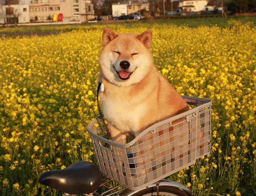 happy-dog-maru-shiba-inu-35.jpg