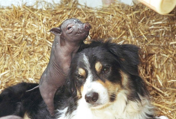 lsys2-dog-and-pig-friends.jpg