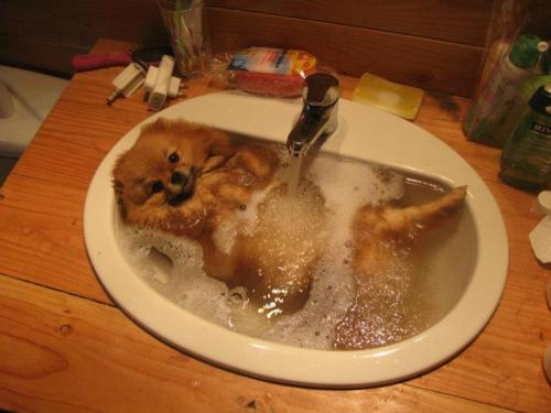 pomeranian-puppy-dog-taking-bath-in-the-sink-dog-bath.jpg