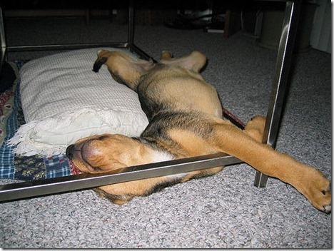 sleeping-puppy-funny_thumb.jpg
