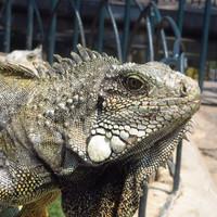 Iguana cha-cha-cha