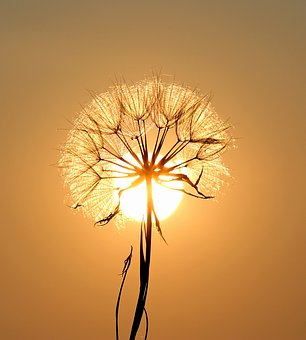 dandelion-1557110_340.jpg