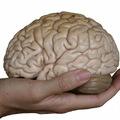 Agysejtek kis csoportjai tárolják a fogalmakat
