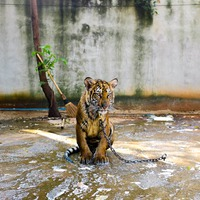 Simogass tigrist! - De mindenáron?