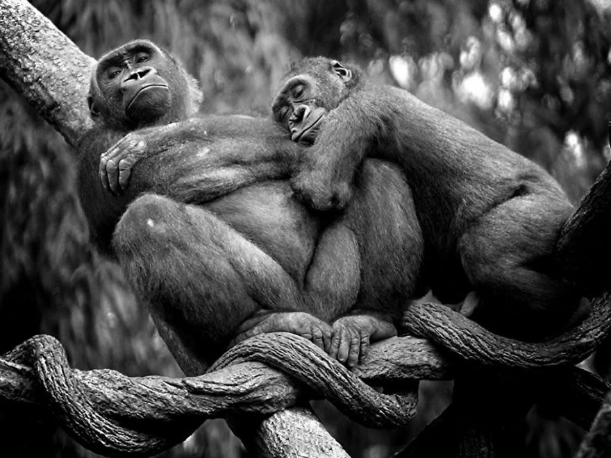 animal-couples-apes_880.jpg