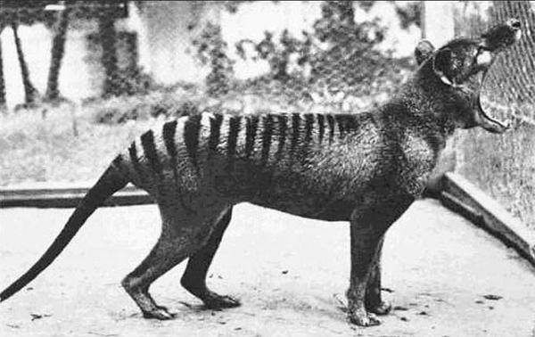 erszényes-farkas.jpg