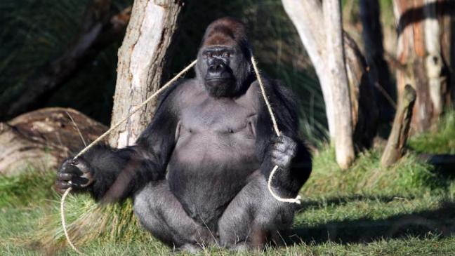 gorilla-images-shown-instead-of-nicola-sturgeon-in-bbc-blunder-136410540143203901-161014112007.jpg
