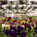 Koronavírus: betekintés a virágpiac helyzetébe