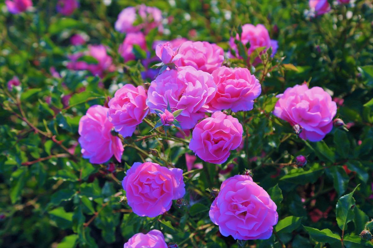 rose-4274667_1920.jpg