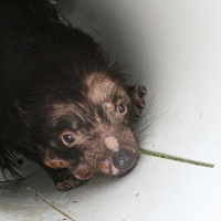 Szegény ördögök – ragályos rák a tasmán ördögben (és máshol)