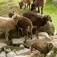A bárányok összemennek