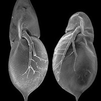 A <i>Daphnia</i> genom