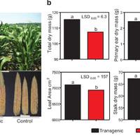 Mire jó a GMO? 11. - A kukorica hozama