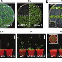 Mire jó a GMO? 21. - A foszfor