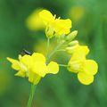 A hagyományos növénytermesztés veszélyei 13. Clearfield növények a másik oldalról