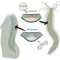 A gerinchúr eredete