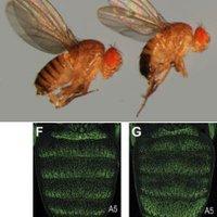 A muslica pigmentáció evolúciója