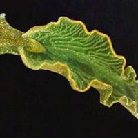 Önök kérték - Fotoszintetizáló csigák