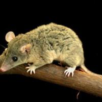 Az oposszum genom