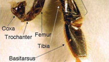 Méhláb és <i>Hox</i> gének
