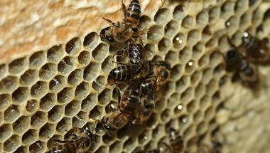 Méhélősködő méhek