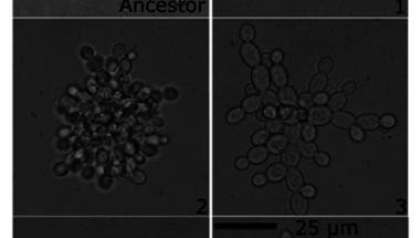 A többsejtűek eredete II.