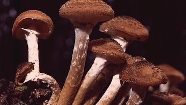 Azok a csodálatos gombák - A világ legnagyobb élőlénye