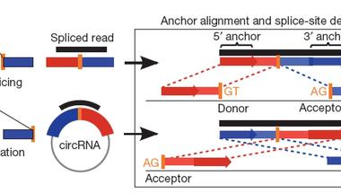 Kör alakú RNSek