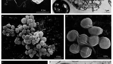 A többsejtűek eredete?